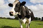 FDA Says One N.Y. Farm's Dairy Cows Are Way Heavy Into the Drugs