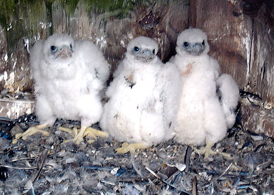 This picture is almost snuggly-wuggly enough for us to forget that these chicks will grow up to be giant, lethal, human-loathing falcons. <i>Almost</i>.
