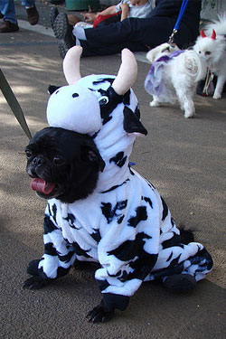 A pug in a cow outfit