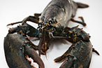 Fishermen Slashing Lobster Prices