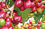 'Coffee Rust' Is Destroying Central America's Coffee Berries