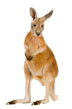 Eight Mile Creek Puts Kangaroo Back on the Menu