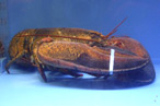 70-Year-Old Lobster Won't Be Cracked