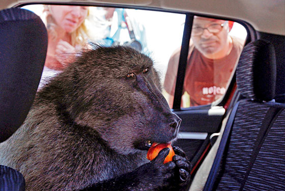 In Cape Town, baboons have figured out how to get into people's cars.