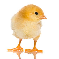 Uh-oh: Cuddly Chickens Responsible for Salmonella Infections