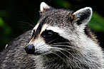 True Story: I Was Bitten by a Rabid Raccoon