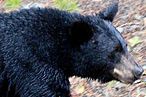 Montana Restaurant Owners Kept Secret Stash of Bear Paws