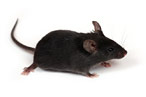 NYC Health Department: Mouse Poo Is No Biggie