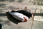 New Yorkers Don't Give a Sh-t If Their Fish Has Been Lying on the Sidewalk