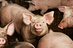 FDA Moves to Reduce Antibiotic Use in Farm Animals Raised for Meat
