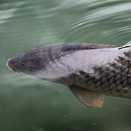Asian carp: Invasive, yes, but are they delicious?