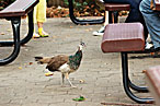 A peahen roaming around the Bronx Zoo.