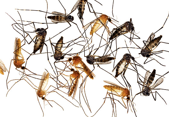 Why This Could Be The Worst Mosquito Summer Of All Time New York Magazine