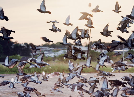Summer Guide 2012 - Inside the World of Pigeon Racing -- New