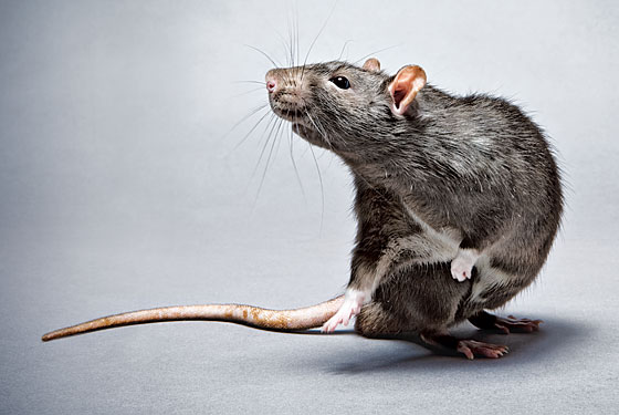 Why Rats Are Ha...